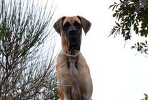 GREAT DANE - ALANO