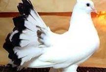 Fancy Pigeon Breeds / Fancy Pigeon Breeds