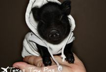 Teacup pigs / Teacup pigs