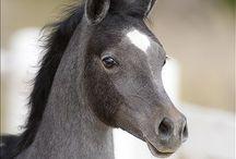 Blue Roan Horses