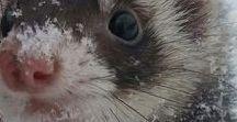 Ferrets