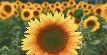 ➼ My Sunflowers