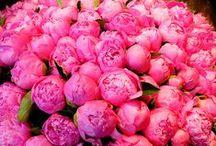 Flowers: Peonies / by Anntoinette McFadden