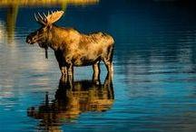 Animals - Deer, Elk, Moose, Caribou, Wild Goat, Etc.