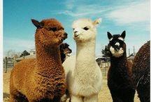 Animals - Llamas, Camels, Etc.