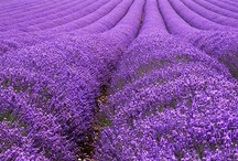 Lavender / by Barbara Nelson