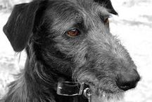 For the love of Sighthounds! / I own my own scruffy lurcher so just love all things pointy dog!