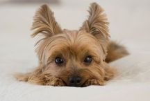 •Yorkie• / •Happiness starts with a wet nose and ends with a wagging tail•