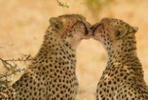 Gepardi / Moje oblíbené zvířátko!