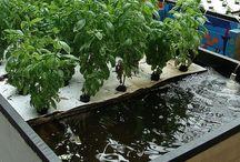 Gardens Aquaponics Hydroponics / Aquaponies & Hydroponics Gardening / by Lynn Ligon