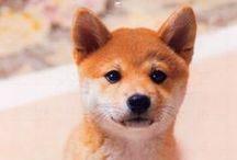 Shiba Obsessed! / I'm obsessed. There is no cure.