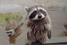 [Animal] #Racoon