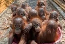 Orangutans and travel / My 40th adventure with Archie