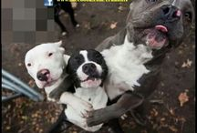 Bully breeds- Lovers, not fighters / by Jay Green