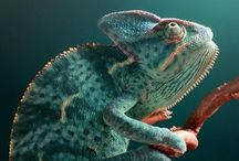 photography - reptiles / Great photography of all reptiles except snakes.