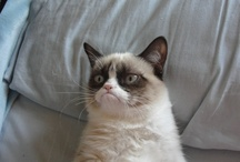 best of: grumpy cat / by Audrey Darnell
