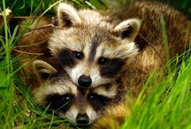 Racoons / by Audrey Darnell
