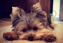 Yorkie Love / Obsessed with yorkies, & I will own one on day! / by Jordan Williams