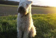 Wheaten terriers <3