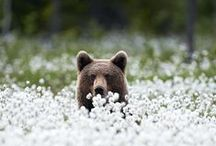 Bears fairy tale