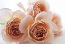 ❇︎  The dazzled roses  ❇︎