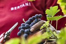 Harvest @ Tenuta Novare