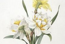 Pierre Joseph Redoute / The exquisite art of Pierre Joseph Redoute.  Inspirations for botanical needlepainting embroidery.