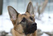 German Shepherd / German Shepherd