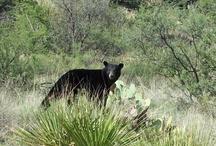 Wildlife of Big Bend / Birds and animals in Big Bend National Park / by Friends of Big Bend National Park
