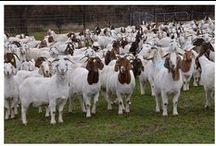 Goat Farming / How To Do Profitable Goat Farming?