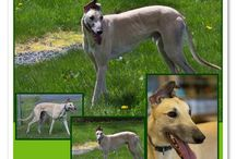 Greyhound of the Month / These are the Greyhounds that are focused on each month.