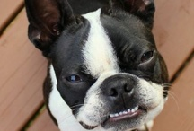 Bostons / For the crazy Boston Terrier owner in me :) / by Sammi Haley