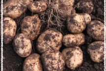 Master Gardener: Seed Potatoes / Various pins that's filled with educational tips for a successful & bountiful potato crop.