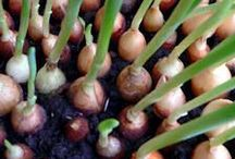 Master Gardener: Onions & Garlic / Various pins that's filled with educational tips for a successful & bountiful onion & garlic crops.