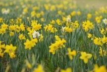 A Host of Golden Daffodils / I wandered lonely as a cloud That floats on high o'er vales and hills, When all at once I saw a crowd, A host, of golden daffodils; Beside the lake, beneath the trees, Fluttering and dancing in the breeze.