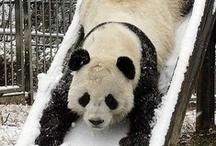 panda panda ♥