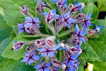 Plantes : aromatiques et médicinales