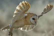 Birds : chouettes,hiboux...