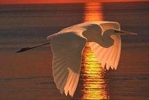 Birds : Waders