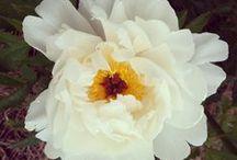 June flowers / June seasonal farm flowers for Massachusetts weddings, grown by Aster B.