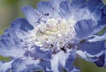 Blue / blue flowers