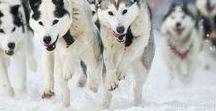 Sled dogs / Siberian husky, samoyed, snow dogs, mushing