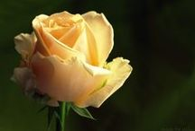 Rosen Träume / Rosen, Blumen, Garten, Fotografie
