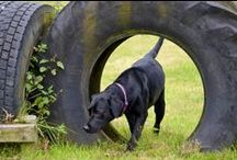 Black Labs & Ziva! / Pics of gorgeous black labradors including my lovely labs Louis and Ziva