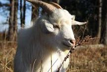 Homesteading | Goats