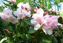 Magnolie, Rhododendrony i inne piękne krzewy / Parki, ogrody i ogródki - tam gdzie można znaleźć magnolie, różaneczniki i wszystko co kwitnie. Parks and gardens -  all about magnolias and rhododendrons