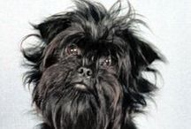 Affenpinscher / Cute and curious little dogs that are also very affectionate. Very popular in Germany and breed exportation is now rising again in both the UK and USA following a dip after the Second World War. Despite its size  the Affenpinscher packs a little punch and isn't afraid to stand up to bigger dogs, however they are well mannered and sociable with both other animals, kids and people in general.   http://www.noahsdogs.com/m/dogs/breed/Affenpinscher