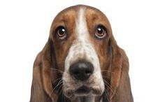 Basset Hound / These adorable dogs were originally bred for hunting purposes, so don't be fooled into thinking that they are all lazy droopy-looking pooches! However, that being said the Basset Hound loves to lounge around and they have a very easygoing nature. For more information about them follow this link: http://www.noahsdogs.com/m/dogs/view/Basset-Hound