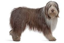 Bearded Collie / The Bearded Collie is one of Britain's oldest breeds. It is said that the Bearded Collie's origins can be traced back to 1514, when a Polish sea caption traded three of his Polish Sheepdogs with a Scottish shepherd in return for a lamb and an ewe. The shepherd then bred the Polish dogs with local herding and flock dogs such as the Old English Sheepdog.  See more at: http://www.noahsdogs.com/m/dogs/breed/Bearded-Collie#sthash.0YO339q2.dpuf  www.NoahsDogs.com