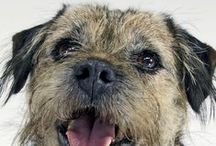 Border Terrier / Border terriers are popular in the UK especially amongst retirees. They are known for their docile approach and are loyalty. Famous border terriers include Lady Eccles (Blanche Hunts' dog in Coronation Street) and Maggie (Andy Murray's dog who has her own twitter account with over 6,000 followers).  See more at: http://www.noahsdogs.com/m/dogs/breed/Border-Terrier#sthash.i4ahc0ge.dpuf  www.NoahsDogs.com